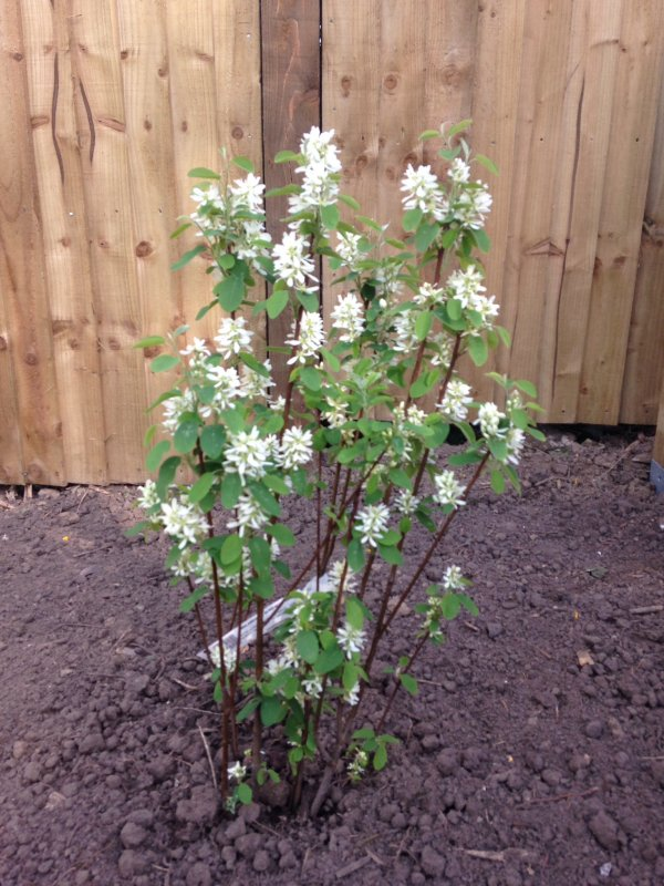 Easy maintenance shrubs pet forums community for Easy maintenance bushes