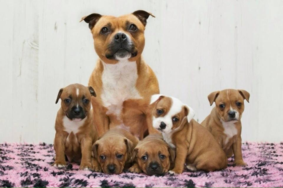 Worried About My Staffy Pups Weight Pet Forums Community