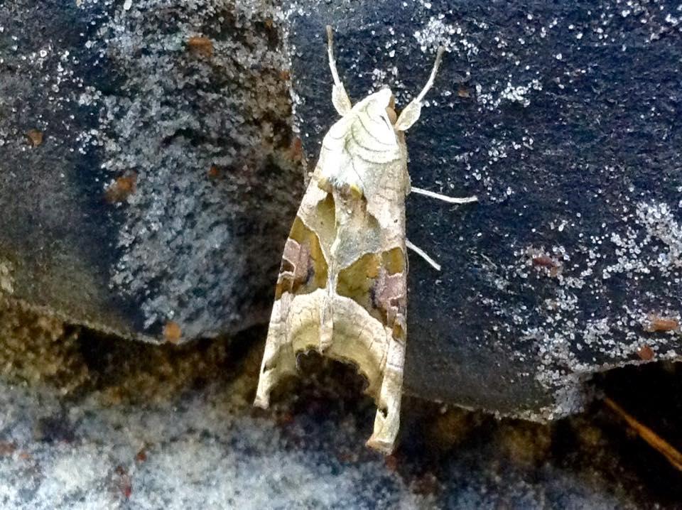 Angle shades moth.jpg