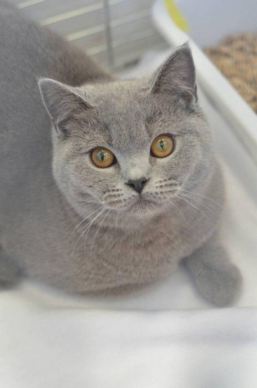 Average Weight A British Shorthair Kitten Please Pet Forums Community