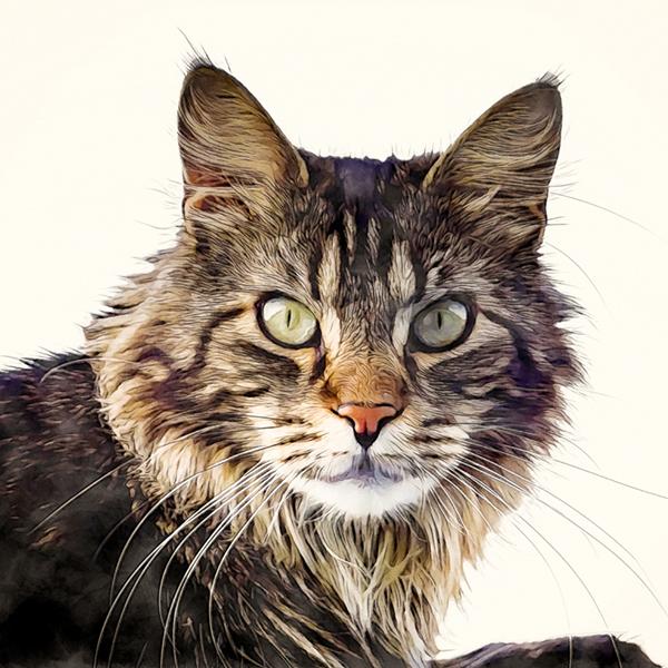 maine-coon-cat.jpg