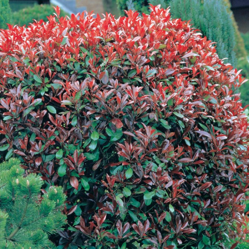 Easy maintenance shrubs pet forums community for Easiest shrubs to maintenance