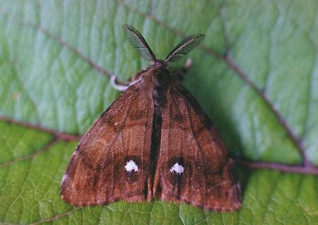 Vapourer Moth2.jpg